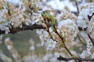 Festividades da Amendoeira em Flor beneficiam economia local de Torre de Moncorvo/ Foto: Salomé Ferreira