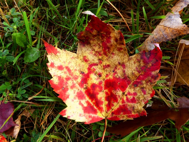 Yellow Red Maple Leaf