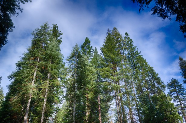 Tops Of Pine Trees Free Stock Photo Public Domain Pictures