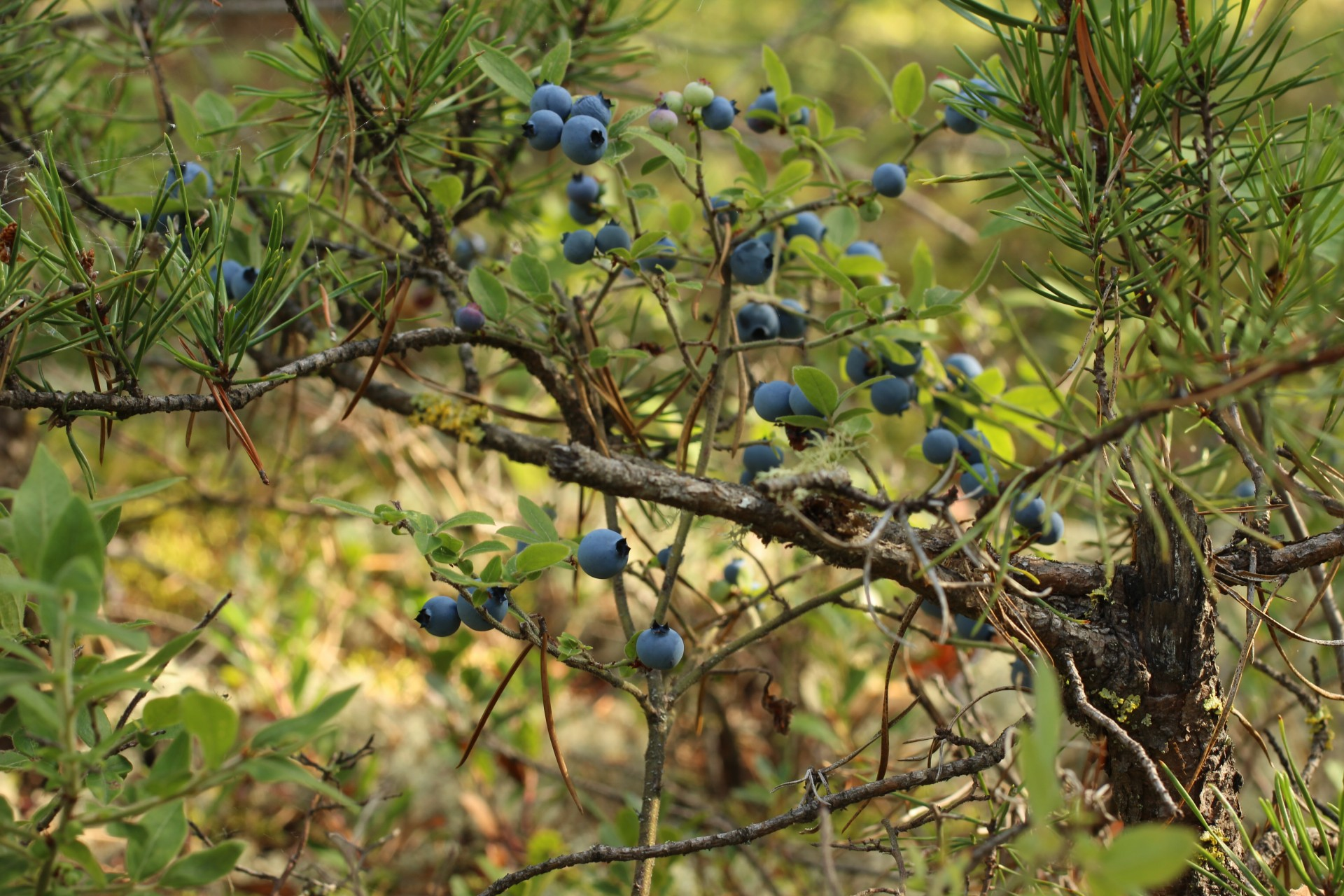 Blueberry Bush Jack Pine Tree