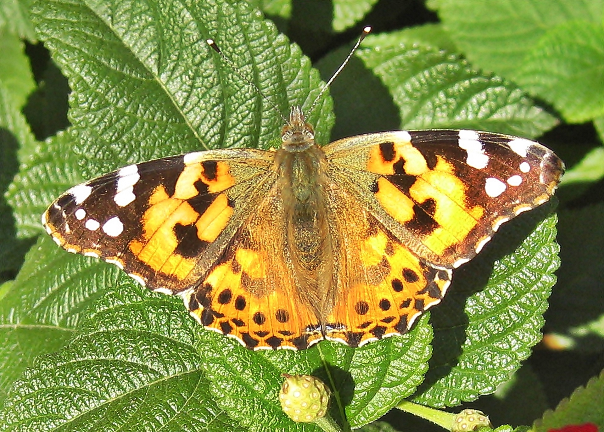 Painted Lady Butterfly Free Stock Photo