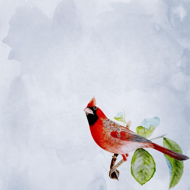 Cardinal Bird Background Free Stock Photo Public Domain