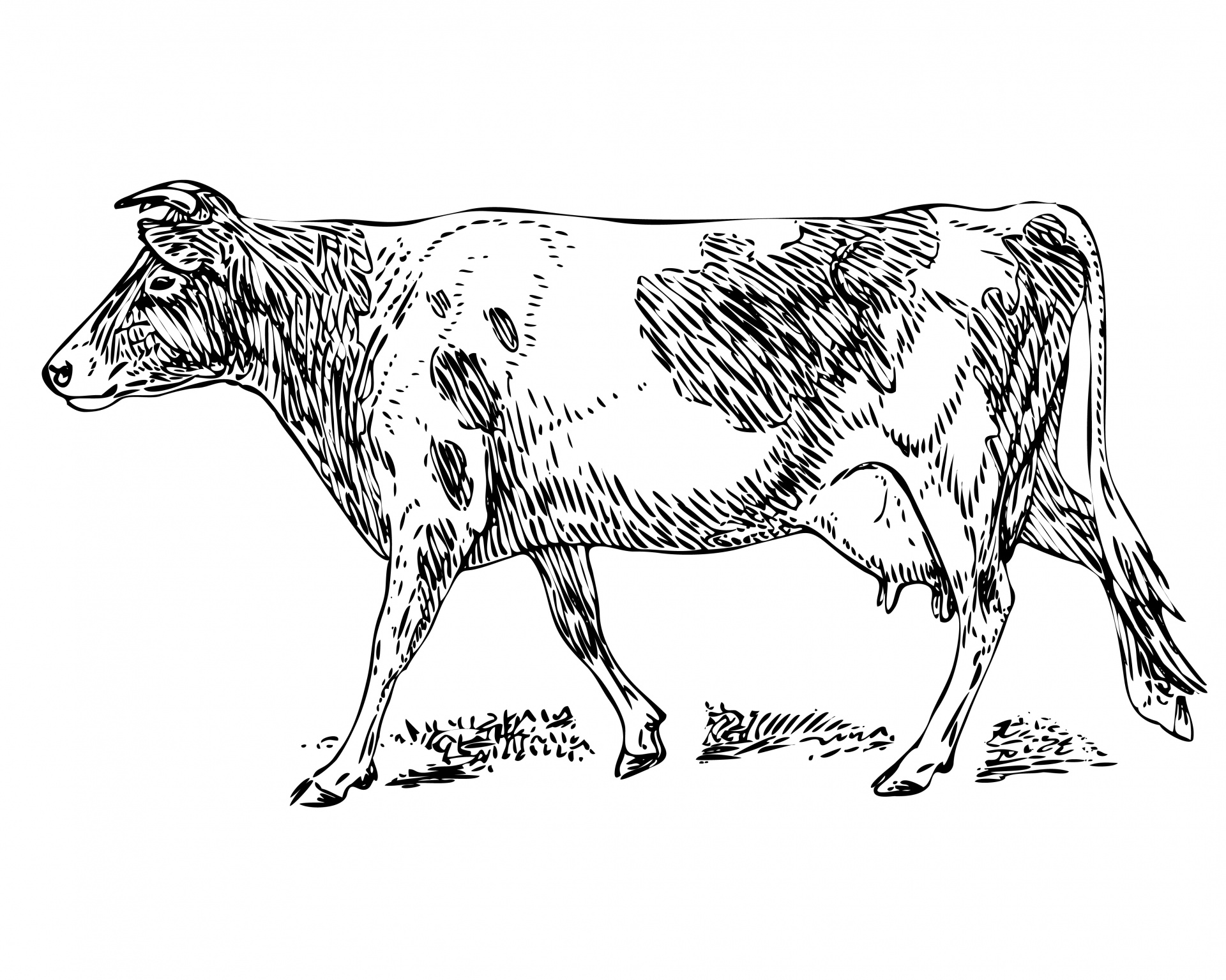 Guernsey Cow Clipart Illustration Free Stock Photo