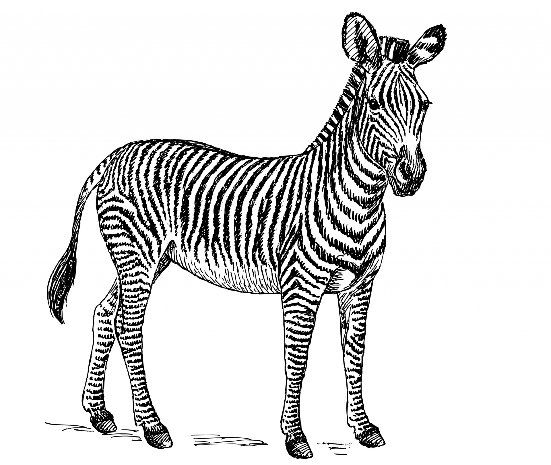 Zebra Illustration Clipart Free Stock Photo