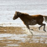 Horse Running On The Beach Free Stock Photo Public Domain Pictures