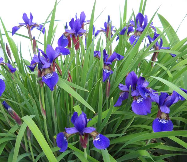 Image result for siberian iris