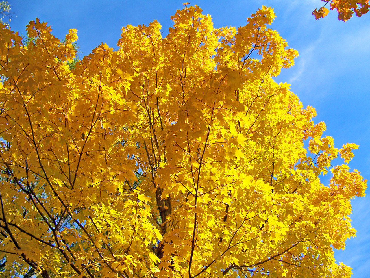 Yellow Maple Tree Branches Free Stock Photo