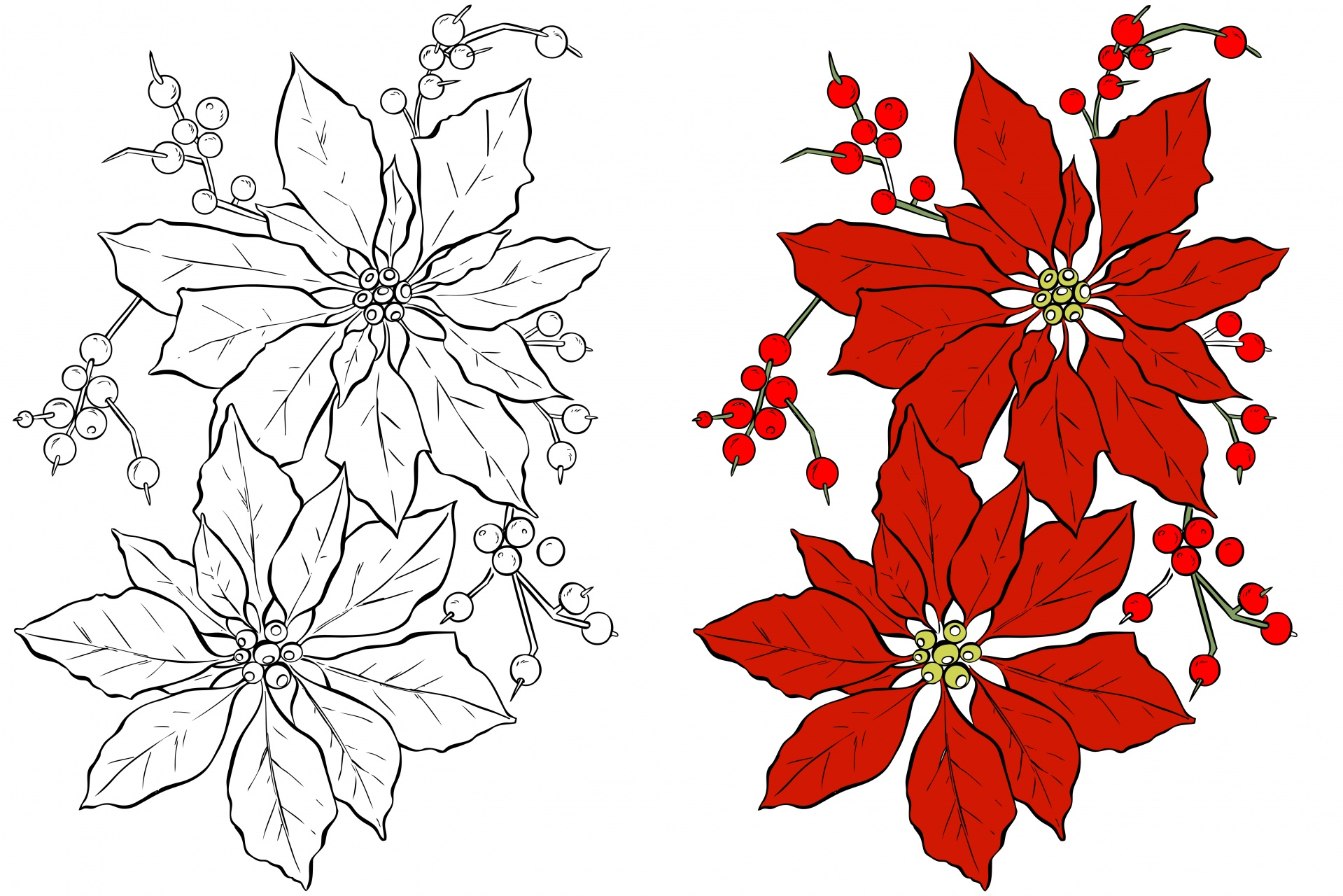 poinsettia flower coloring page free stock photo public domain