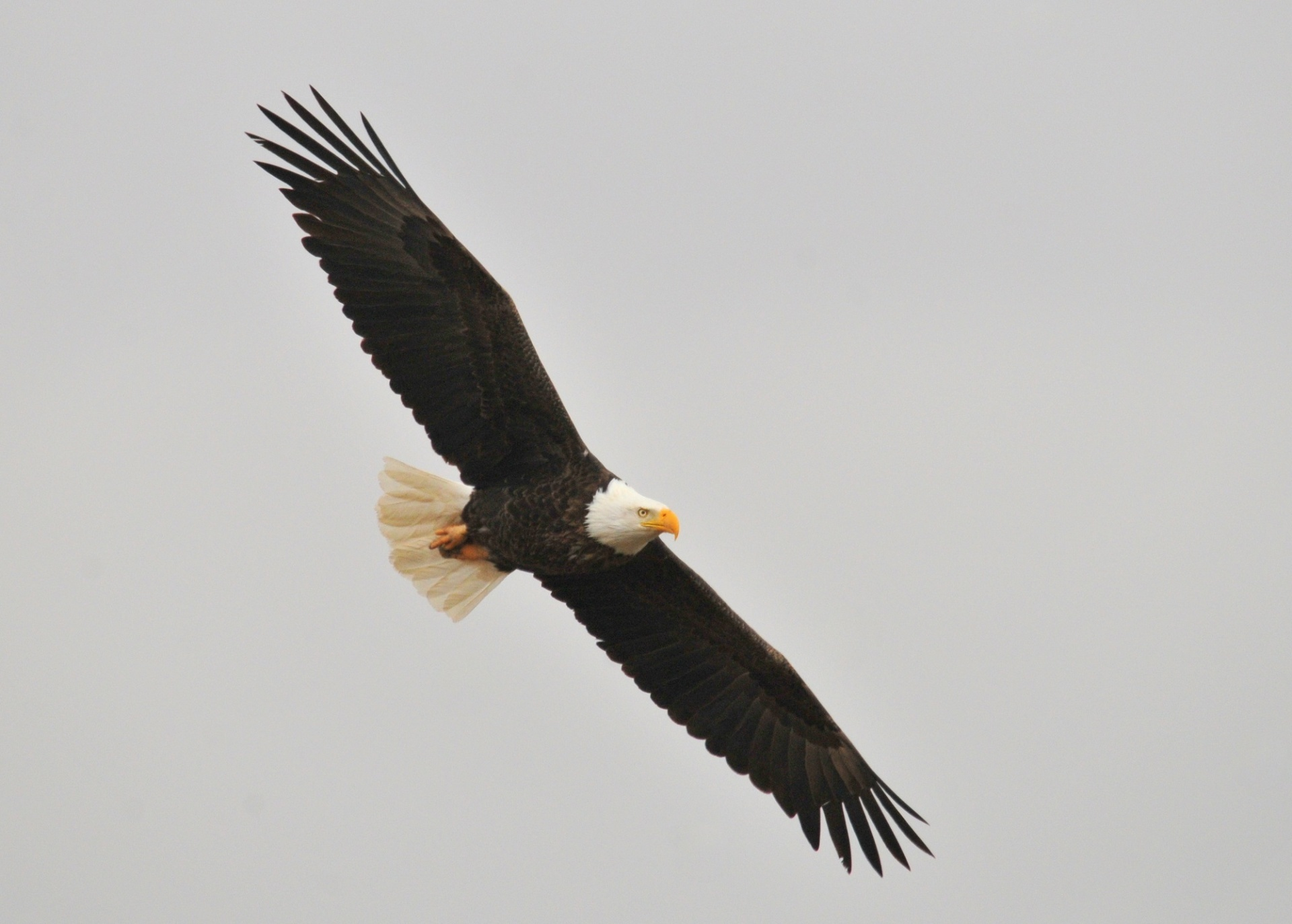 Bald Eagle Day, American Eagle Day, National Bird, Eagle