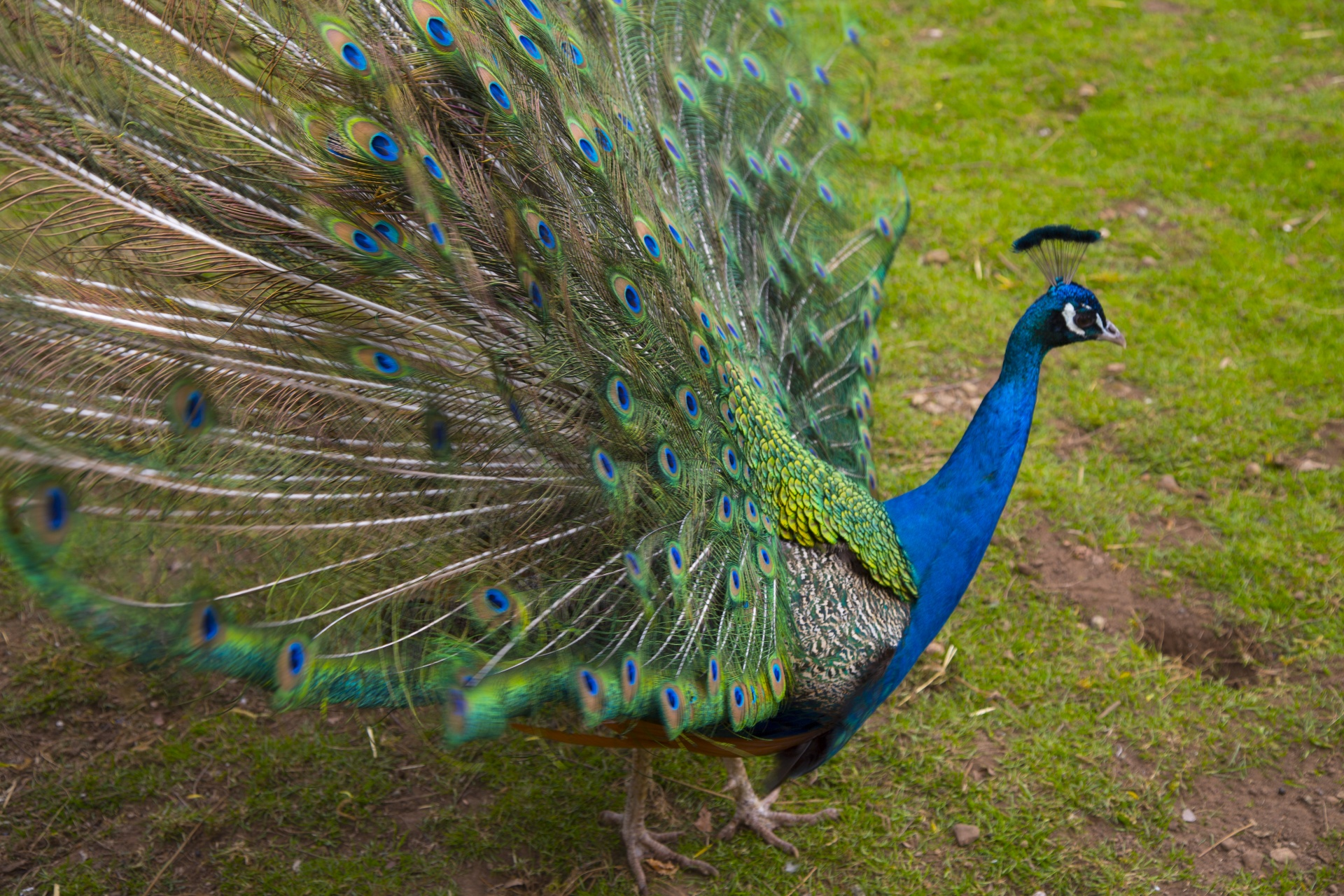 Beautiful Peacock Free Stock Photo Public Domain Pictures