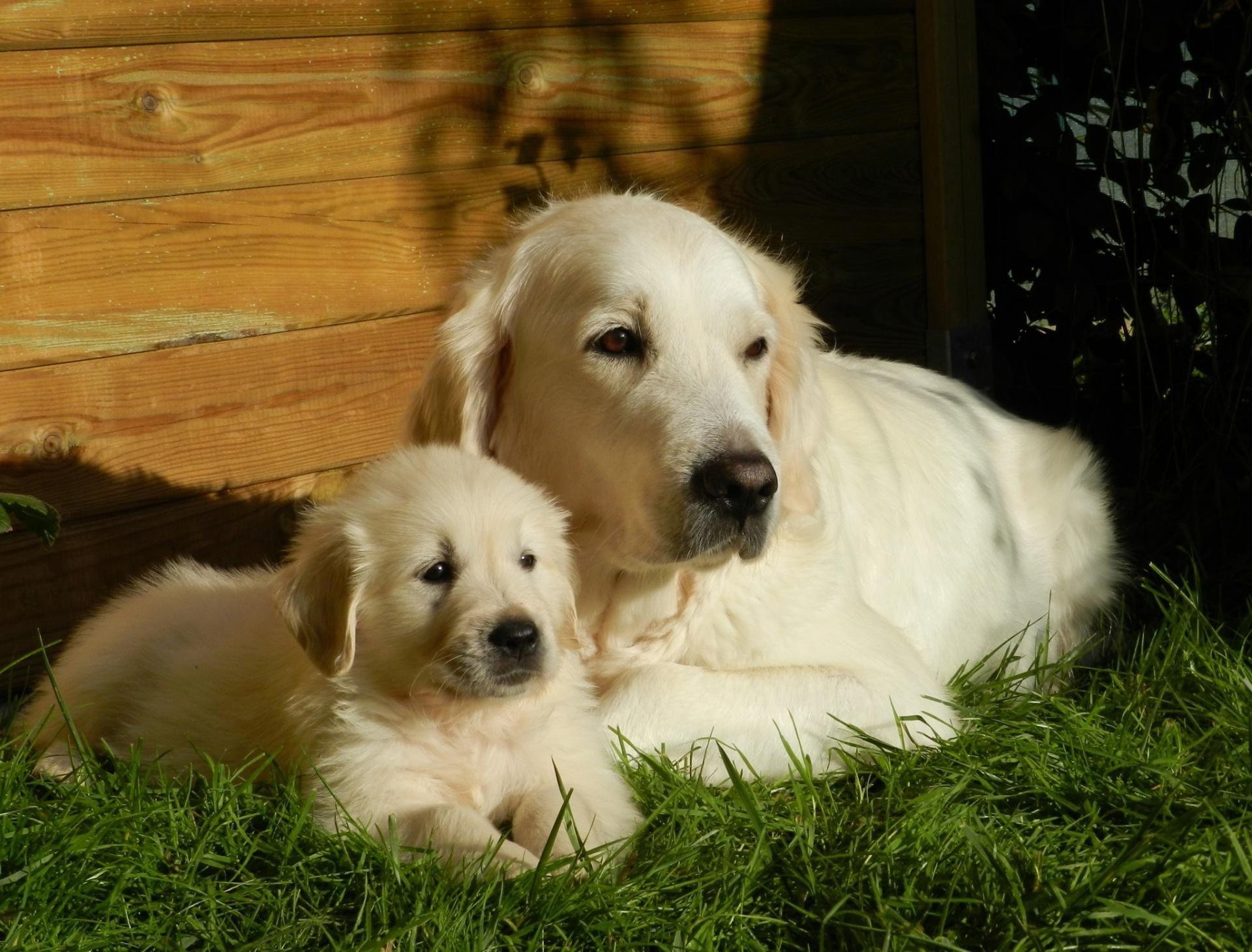 Dog Puppy Golden Retriever