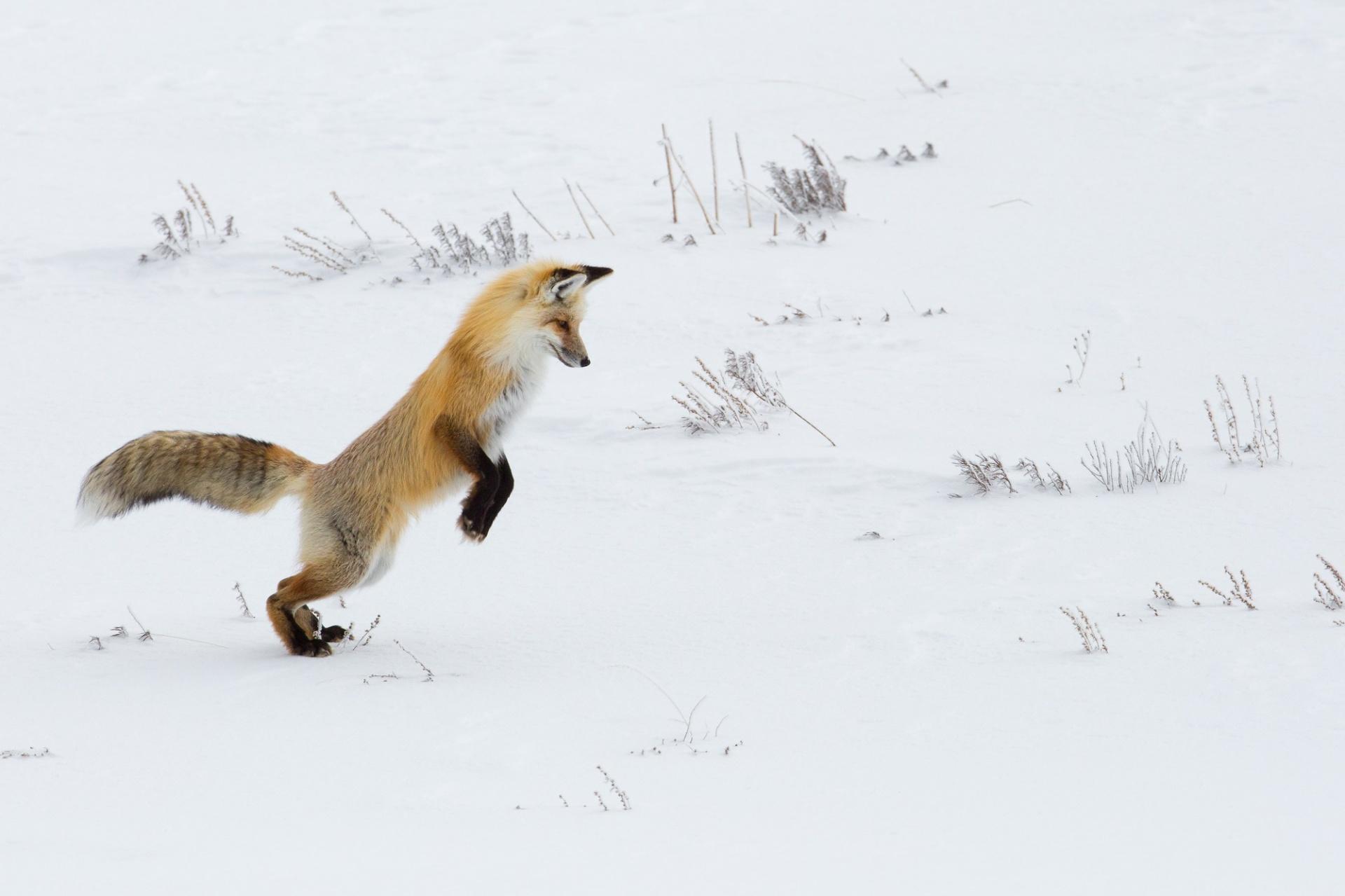 Hunting Fox