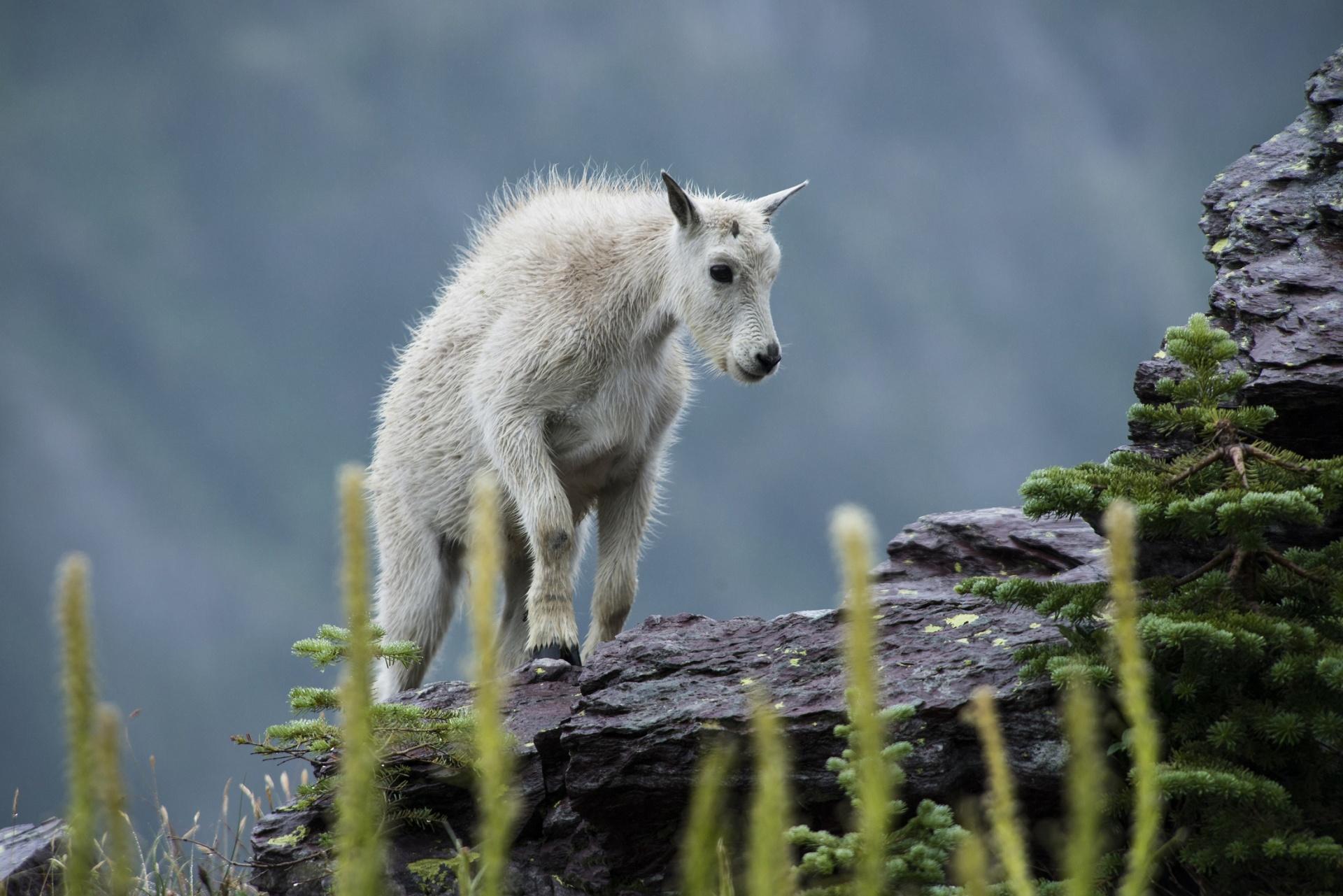 Mountain Goat Kid Free Stock Photo