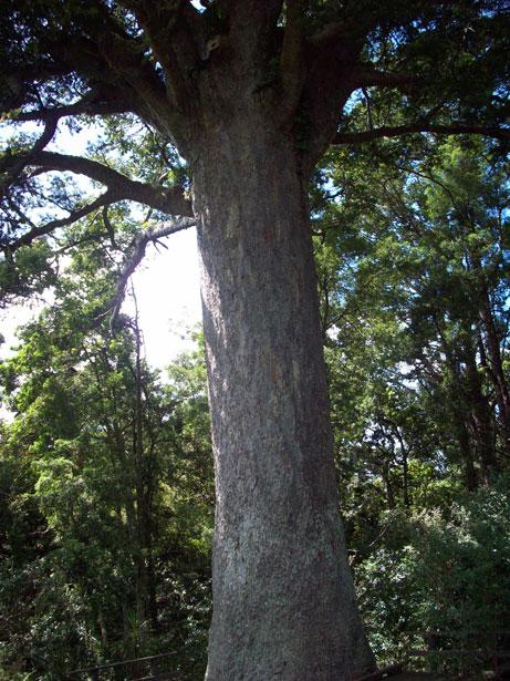 Large Kauri Tree Trunk Free Stock Photo Public Domain