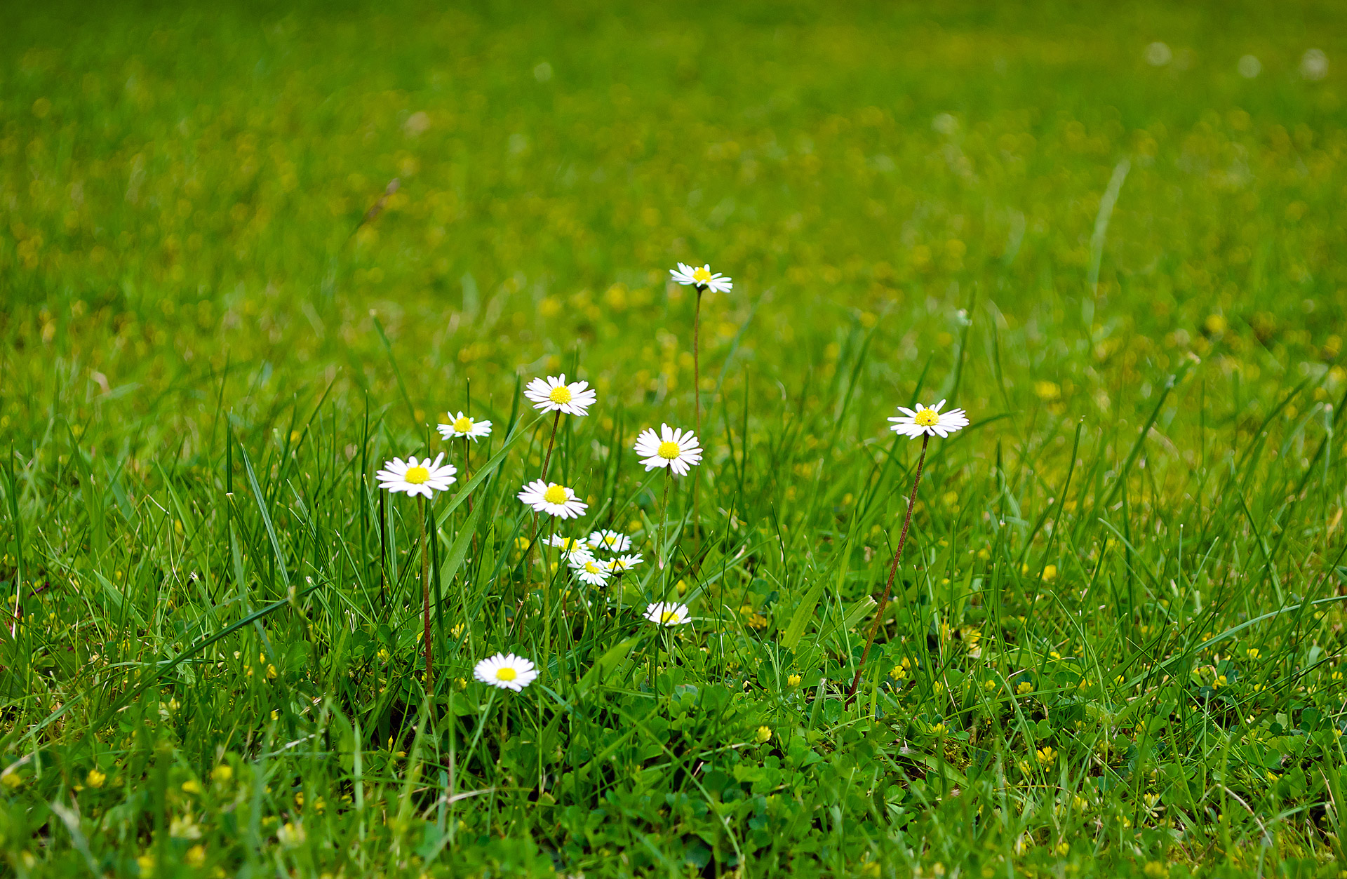 Image result for flowers in grass