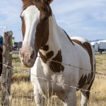 Brown And White Horse Free Stock Photo Public Domain Pictures