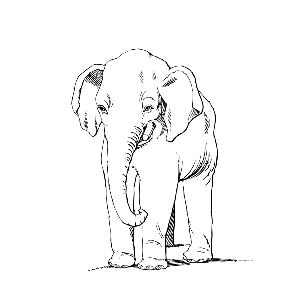 Elephant Line Art Drawing Free Stock Photo Public Domain Pictures