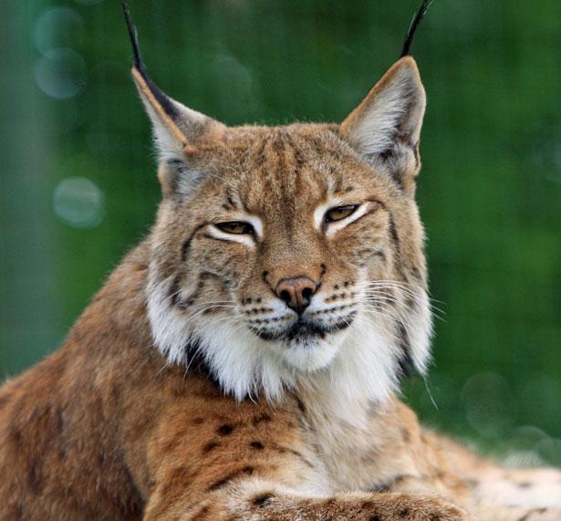 Bobcat o Lynx