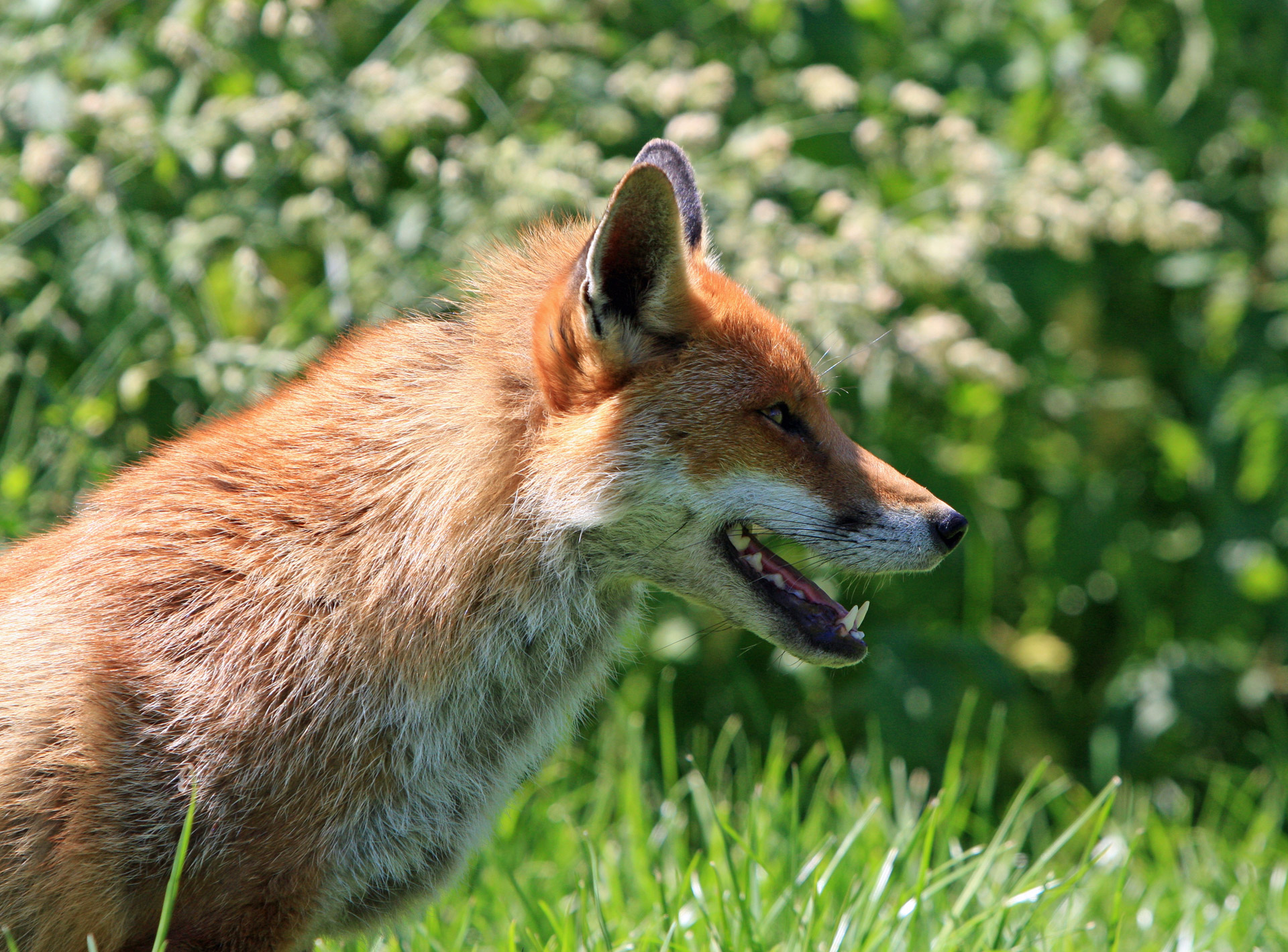 Image result for foxes public domain