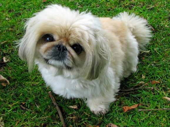 Pekingese_dog_breeds_great_for_seniors_dogdojo