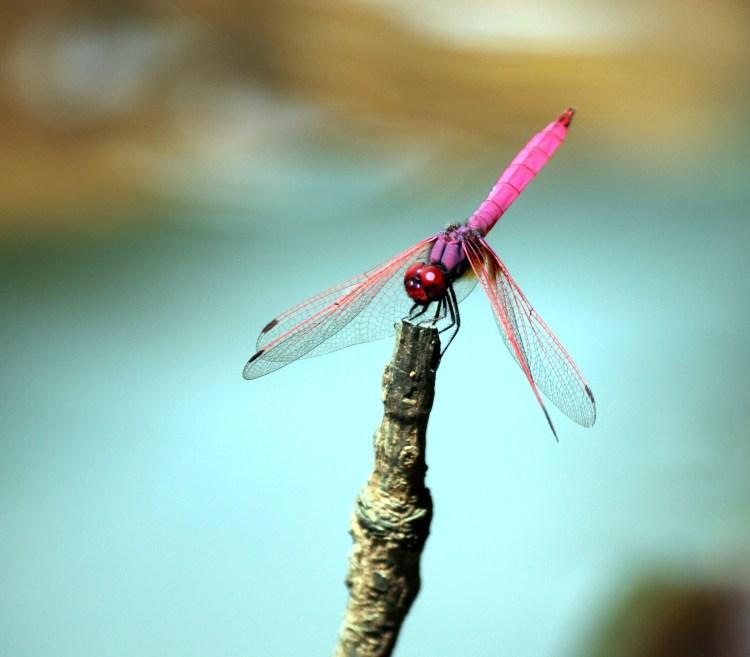 Libélula rosa bailando en la barra