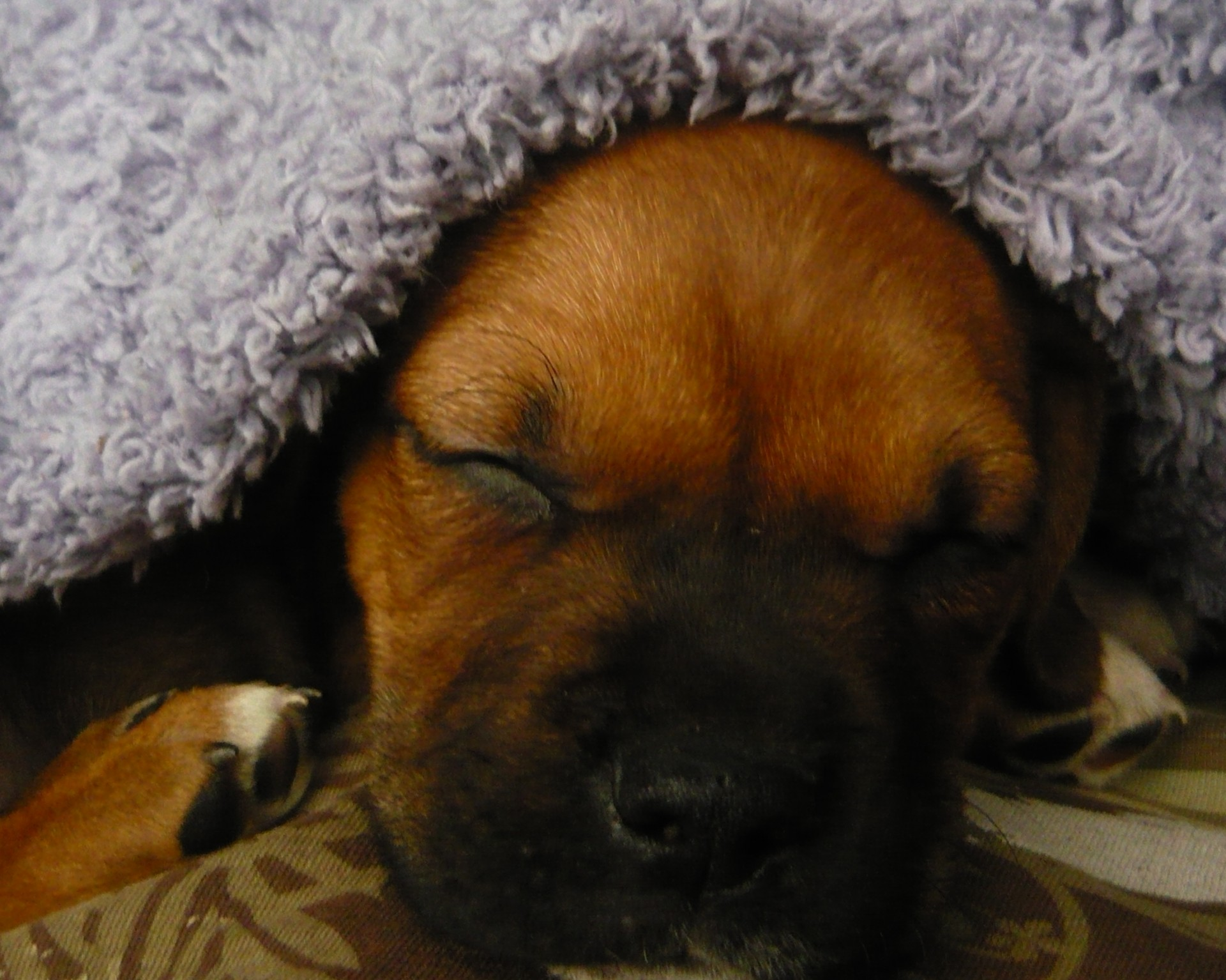 Sleeping Dog, Sleeping, National Sleep Comfort Month, Snoozing