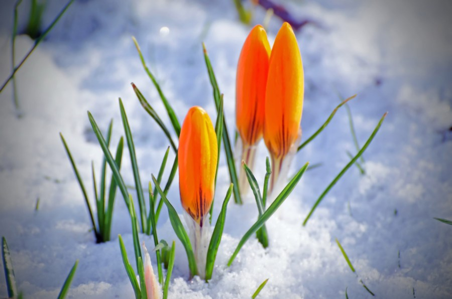 Spring Flower And Snow Free Stock Photo   Public Domain Pictures Spring Flower And Snow