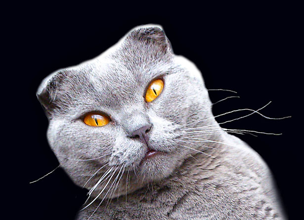 Scottish Fold Free Stock Photo Public Domain Pictures
