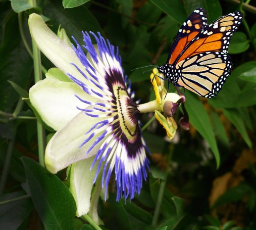 https://i2.wp.com/www.publicdomainpictures.net/pictures/60000/velka/passion-flower.jpg?resize=507%2C455