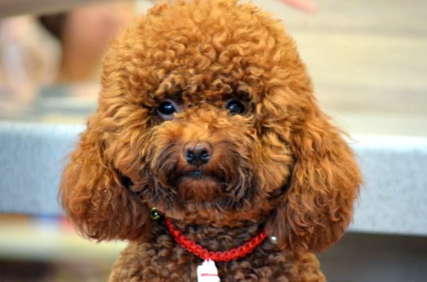 Cute Poodle Free Stock Photo Public Domain Pictures