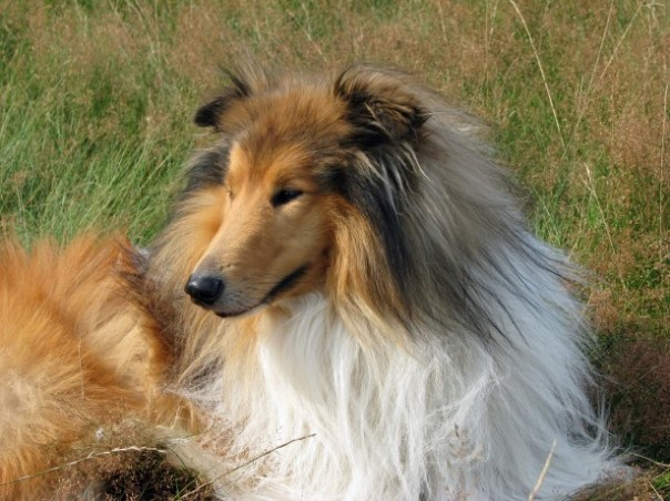 https://i2.wp.com/www.publicdomainpictures.net/pictures/80000/nahled/rough-collie-dog-1391540004GBc.jpg?w=604