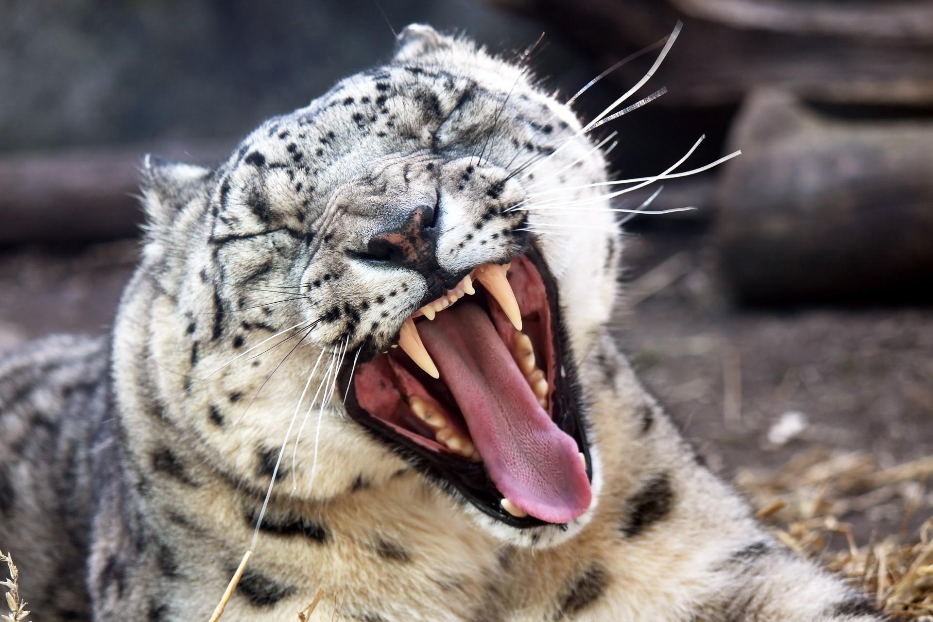 Snow Leopard Yawning 1