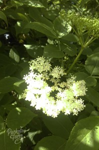 elderflower2