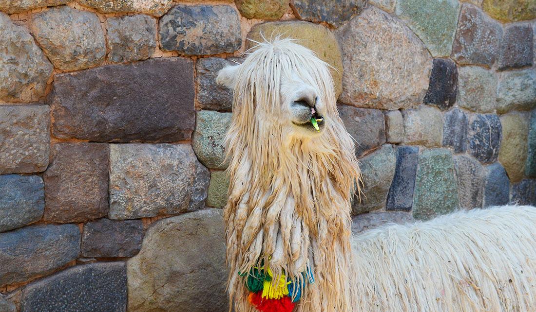 Cusco - Llamas