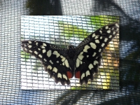 Black and ivory butterfly with red markings at Puerto Beach Resort Butterfly Garden