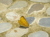 Blonde butterfly at Puerto Beach Resort Butterfly Garden