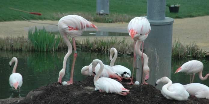 Brutzeit bei den Flamingos