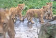 drei Löwenjungen in der Außenanlage des Thüringer Zooparks Erfurt