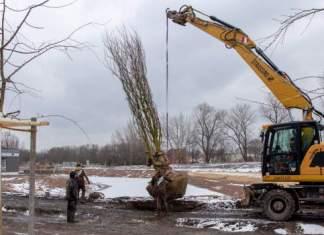 ein Bagger hebt einen Baum in seine Pflanzgrube