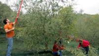 offerta di lavoro per Operai addetti alla raccolta delle olive