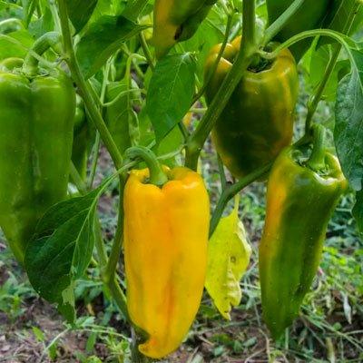 Peperone corno di bue giallo bio - Maremma - pulmino contadino