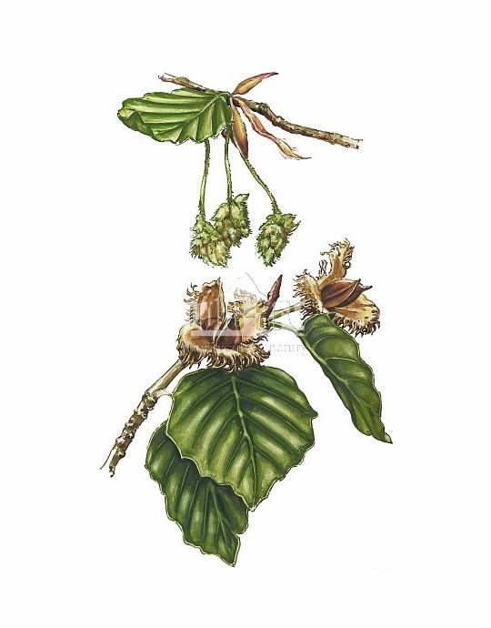 Buk pospolity (Fagus sylvatica)