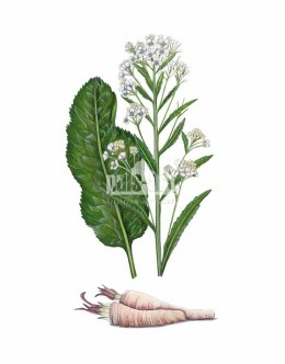 Chrzan pospolity (Armoracia rusticana)