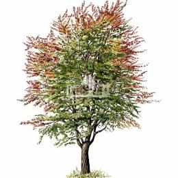 Czereśnia ptasia (Prunus avium)