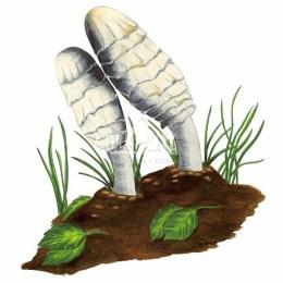 Czernidłak kołpakowaty (Coprinus comatus)