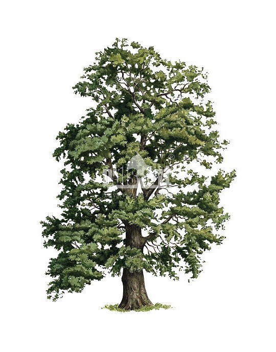 Dąb bezszypułkowy (Quercus petraea)