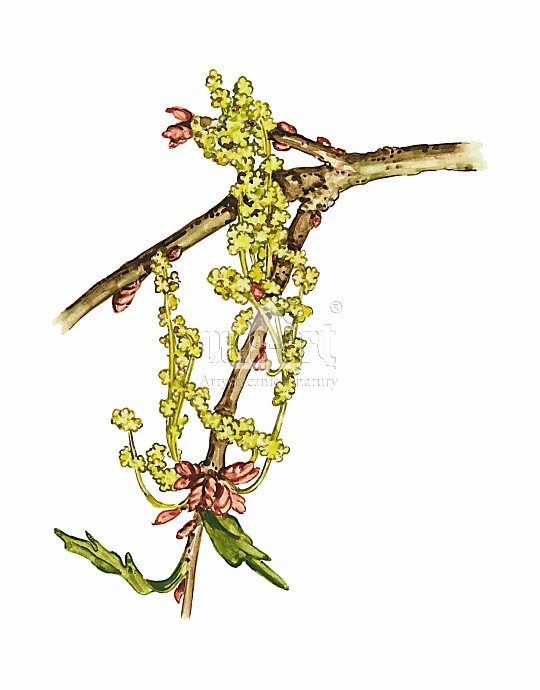Dąb szypułkowy (Quercus robur)