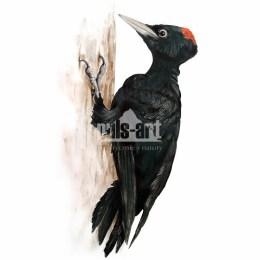 Dzięcioł czarny (Dryocopus martius)