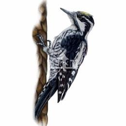 Dzięcioł trójpalczasty (Picoides tridactylus)