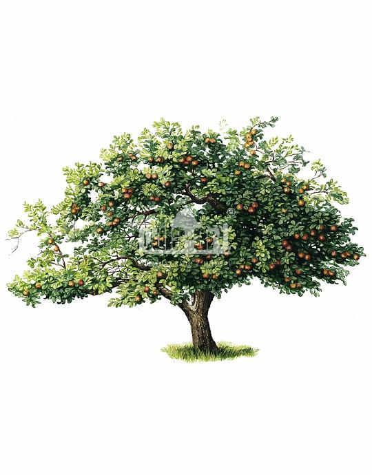 Jabłoń domowa (Malus domestica)